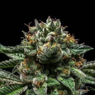 CHEMPIE Semillas Feminizadas de Marihuana