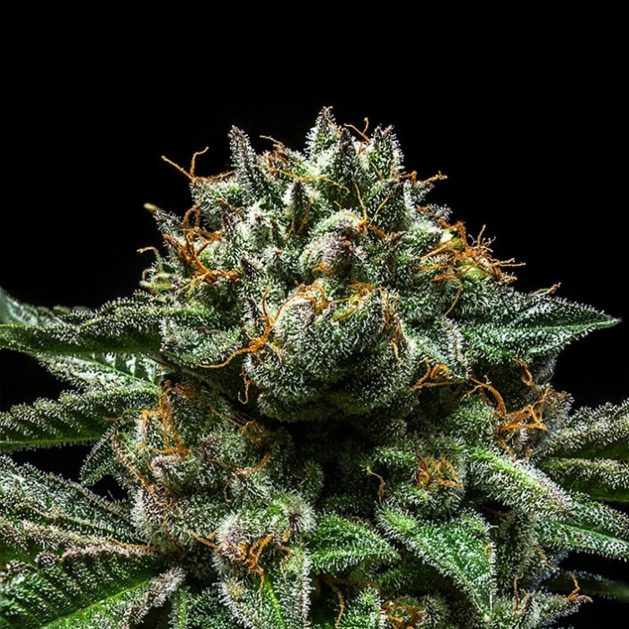 CHEMPIE Feminized Cannabis Seeds