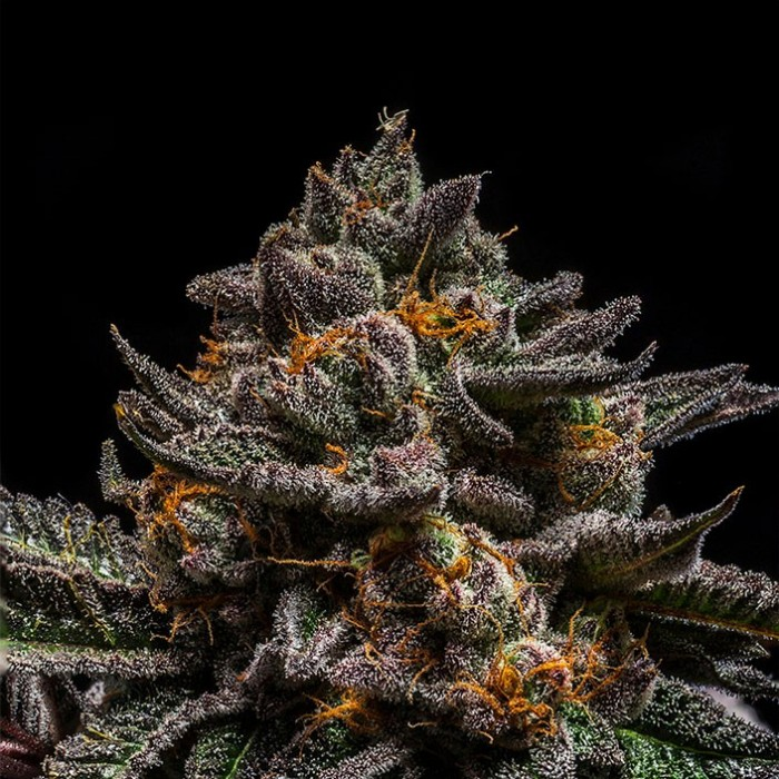 BRAIN CAKE Feminized Cannabis Seeds