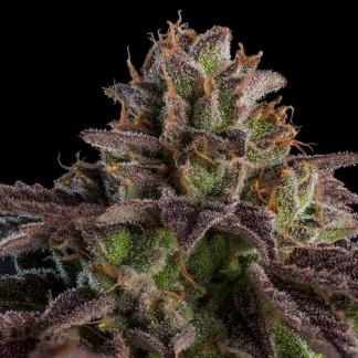 KMINTZ Semillas Feminizadas de Marihuana