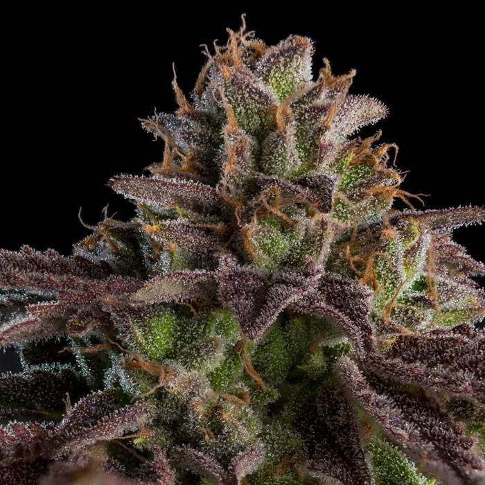 KMINTZ Feminized Cannabis Seeds