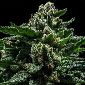DO-G Feminized Cannabis Seeds