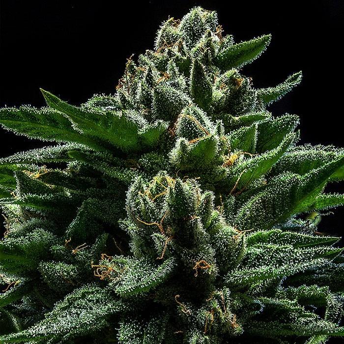 DO-G Semillas Feminizadas de Marihuana