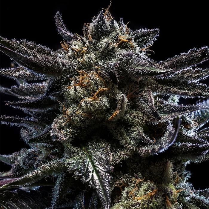 ZOMBIE KUSH Feminized Cannabis Seeds