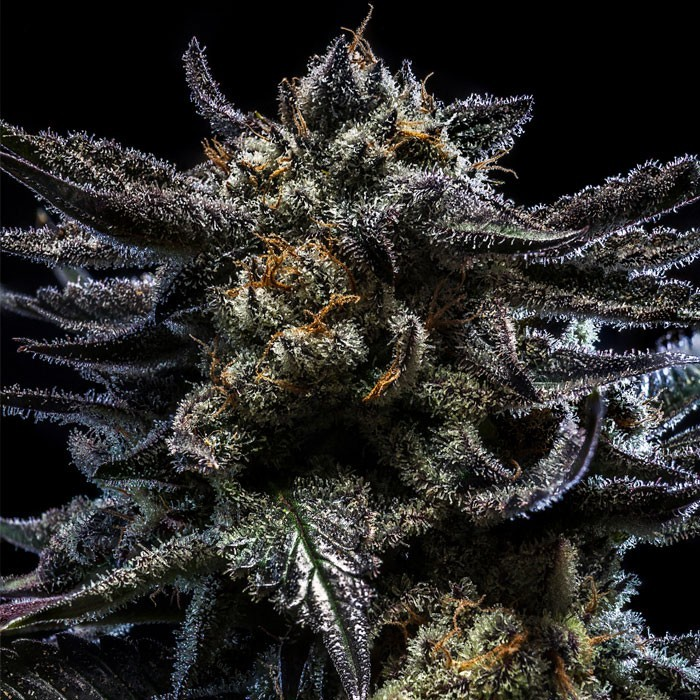 ZOMBIE KUSH semillas feminizadas de marihuana