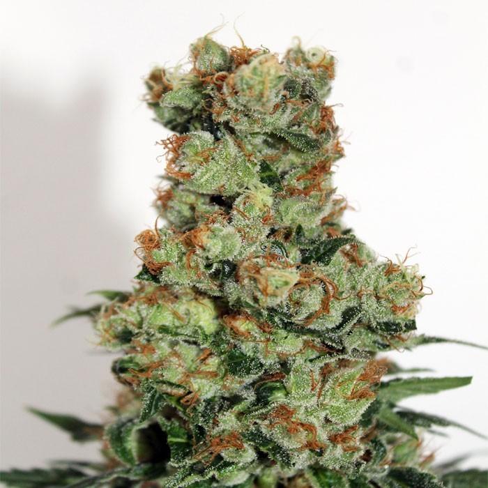 RIPPER BADAZZ Feminized Cannabis Seeds