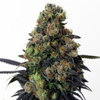 ACID DOUGH Feminized Cannabis Seeds
