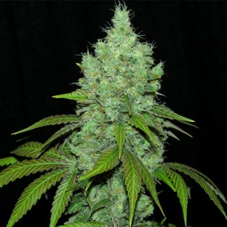 BLACK VALLEY Feminized Cannabis Seeds