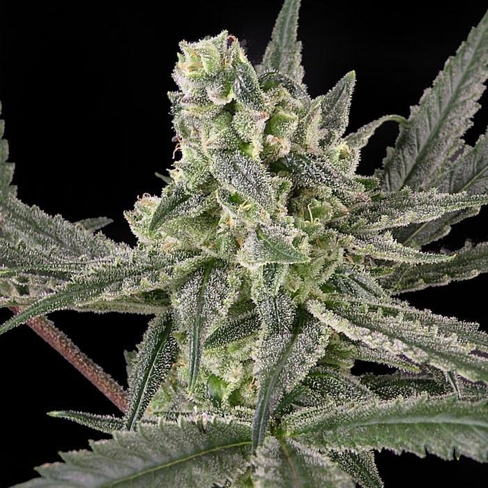 OLD SCHOOL Feminized Cannabis Seeds