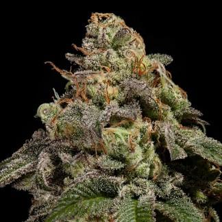 OMG Semillas Feminizadas de Marihuana