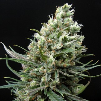 RIPPER HAZE Feminized Cannabis Seeds