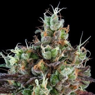 SOUR RIPPER Feminized Cannabis Seeds