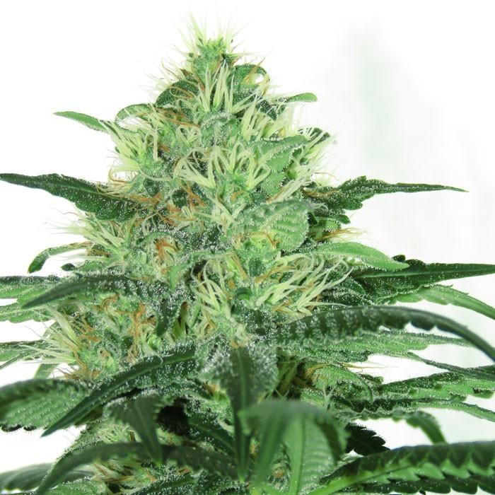 SIDERAL Semillas Feminizadas de Marihuana