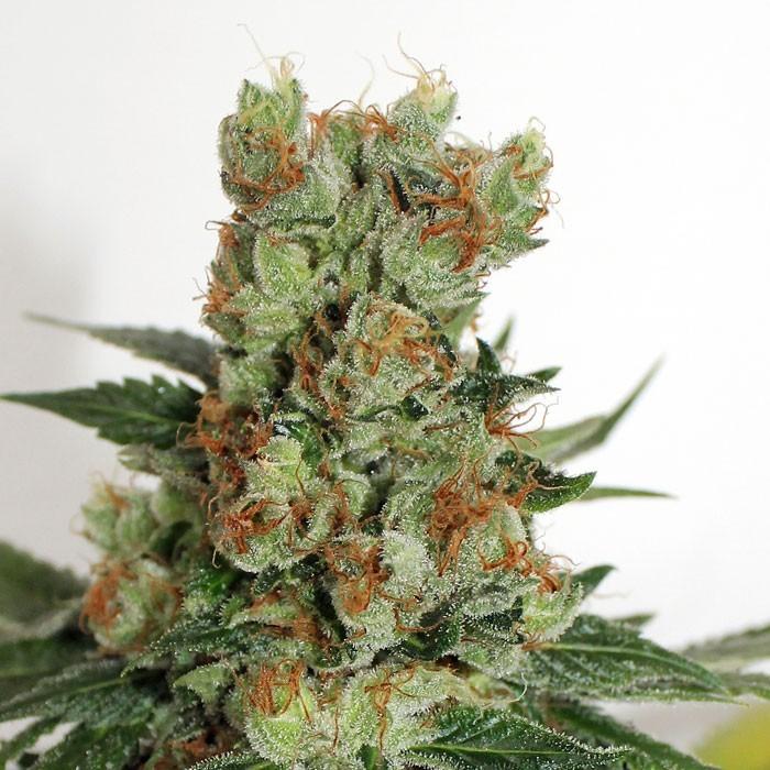 FUEL OG semillas regulares de marihuana